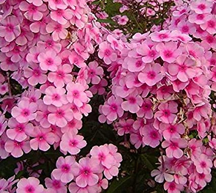 Amazon brilliant phlox 100 seeds long lasting clusters of brilliant phlox 100 seeds long lasting clusters of small pink colored flowers mightylinksfo