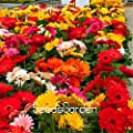 100 Seeds/Lot New Arrival!Gerbera Daisy Hybrids Mix Flower Seeds Bonsai plants easy to grow Seeds for home & garden