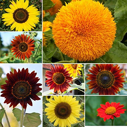 Sow Right Seeds - Sunflower Seed Mix for Planting Outdoors. Includes Eight Varieties: Autumn Beauty, Dwarf Sungold, Lemon Queen, Velvet Queen, Sunspot, Gray Stripe, Chocolate, and Mexican Sunflower