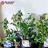 Purple Blueberry Seed Windowsill Roof Fruit Seed Potted Bonsai Tree Plant Vaccinium Seed a Pack 200 Pcs/lot,#1N0V6A