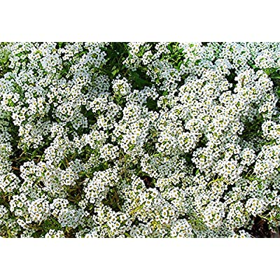 2000+ White Sweet Alyssum Carpet of Snow Seeds Flower Fragrant Like Honey Flower Seeds for Planting HYS-RR : Garden & Outdoor
