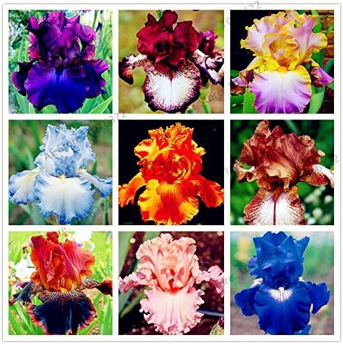 50pcs / bag semillas iris, flor jardín perenne populares, flor corte magnífico semillas de flores raras para el jardín de la plantación de orquídeas: Amazon.es: Jardín