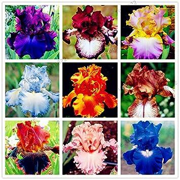 50pcs / sac graines Iris, fleur populaire de jardin de plantes vivaces,  graines de