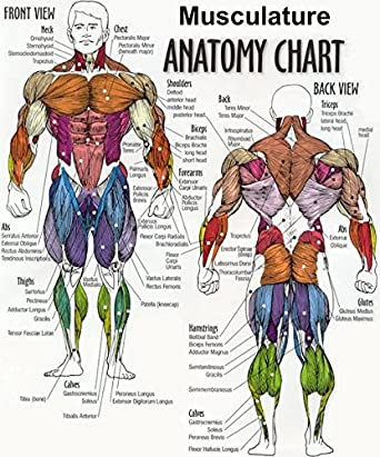 Amazon The Human Man Exercise Muscular System Anatomical Chart