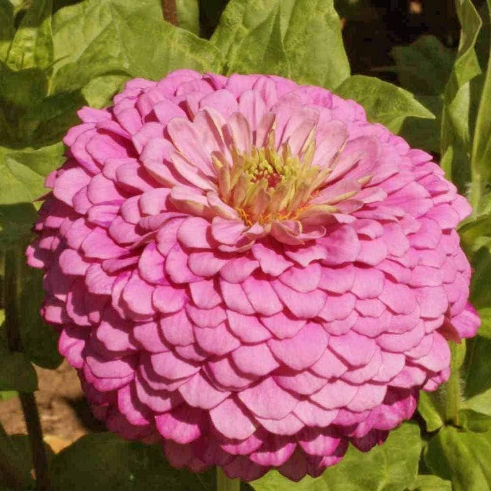 David's Garden Seeds Flower Zinnia Solid Color Luminosa 1164 (Pink) 500 Non-GMO, Heirloom Seeds
