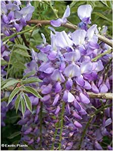 Wisteria sinensis - Chinese Wisteria - 5 seeds