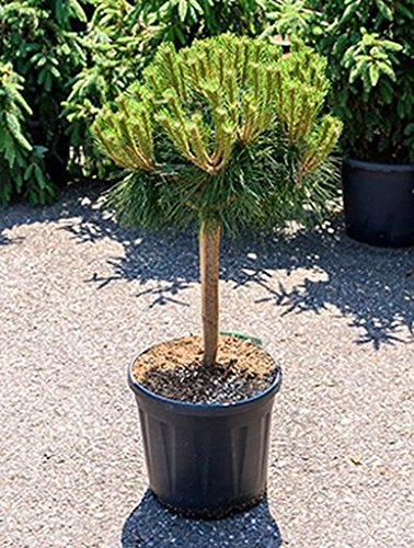 Zwerg Schwarz Kiefer Ca 80 Cm Balkonpflanze Immergrun Winterfest