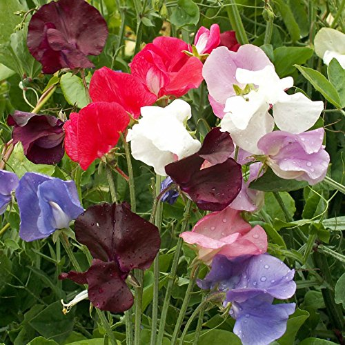 Outsidepride Annual Sweet Peas Flower Seed Vine Mix - 250 Seeds