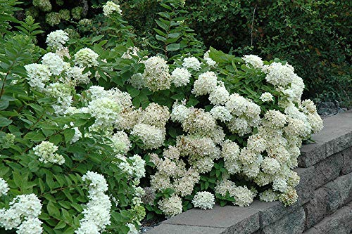 1 Pee Gee-Hydrangea paniculata 'Grandiflora' Plant 2 to 3 feet Tall -$9.99 -