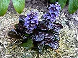 AJUGA REPTANS 'BLACK SCALLOP' - BUGLEWEED - STARTER PLANT