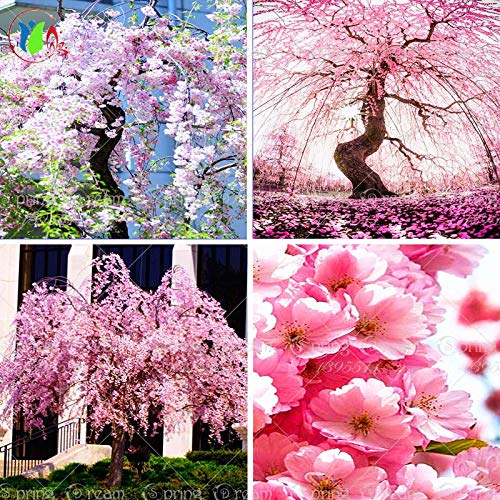 Shopvise 10 Pink Fountain Weeping Cherry Tree, DIY Home Garden Dwarf Tree, Everybody Wants It, Ornamental-Plant