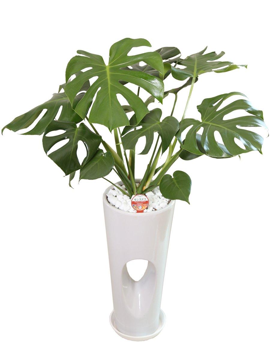 観葉植物 モンステラ7号穴あき陶器鉢(白) B00NCUB3H4