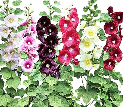 Hollyhock Single Mixed Colors – Long Blooming Period in All Zones