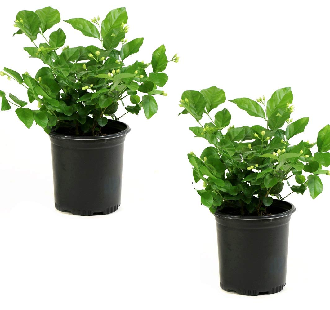 Cottage Hill Arabian Sambac Jasmine - 2 Piece Live Plant White Blooms by Cottage Hill