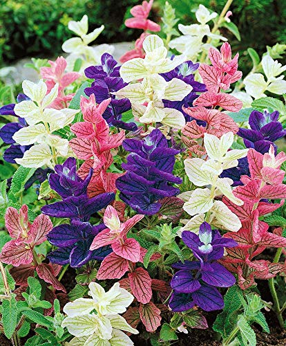 Salvia Tricolor Mix Horminum Seeds Annual Flowers for Planting Giant Non GMO 100 ()