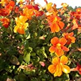 Monkey Flower Twinkle Orange Seeds (Mimulus Hybridus F2) 100+Seeds
