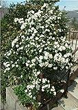 Viburnum Tinus 20 Seeds (Laurustinus) -evergreen,patio, border, hedge