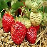 Seascape Beauty Everbearing 100 Live Strawberry Plants, NON GMO,