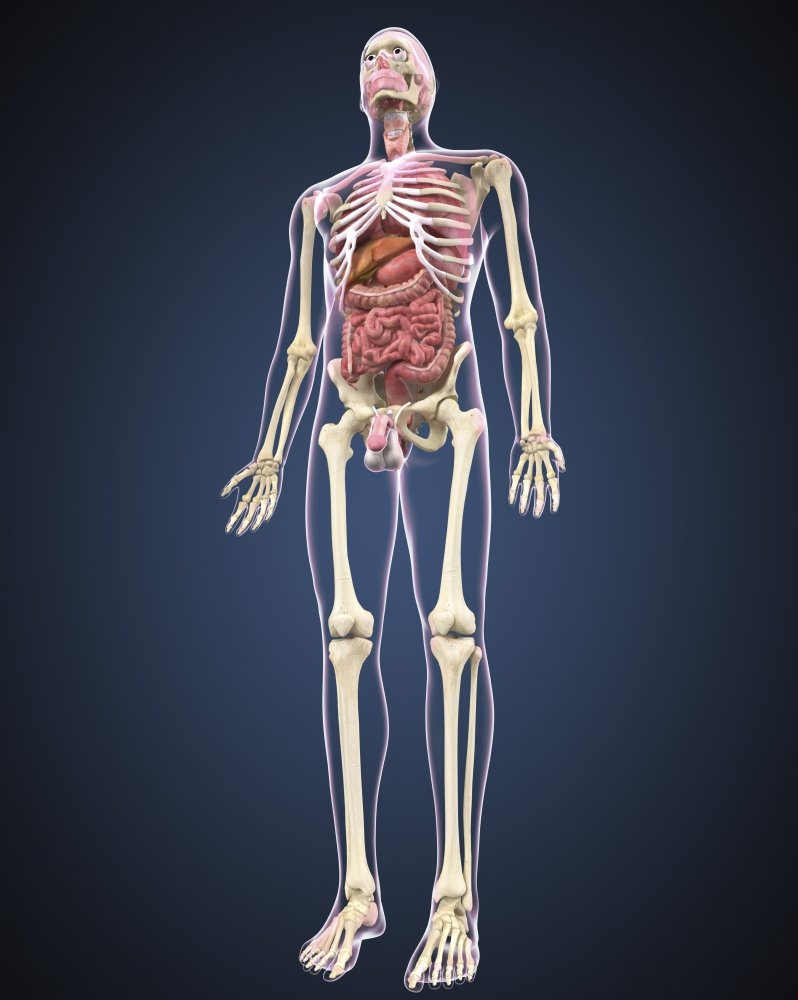 Amazon Full Length View Of Male Human Body With Organs Poster