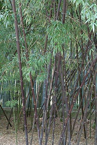 Winterharter Schwarzer Bambus 50 Samen Phyllostachys Nigra
