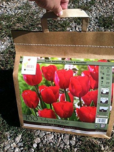 100 Parade Tulip Bulbs - Tulipa Darwin Hybrid-- Landscapers Bargain Bag!! Great for Fall Planting!