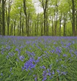 Wildflower - English Bluebell - 200 Seeds