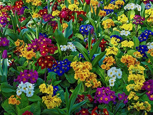 Polyanthus 50 Seeds Mixed Colours Endless Selection of Colours and Vivid Flower Patterns