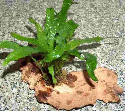 Une Racine á planter d´Microsorum pteropus, pour Aquarium Les plantes aquatiques