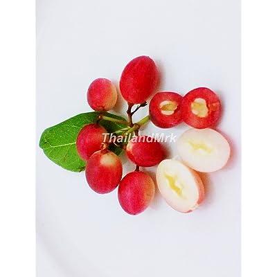Thai Karanda Carissa carandas Apocynaceae 10 Seeds ThailandMrk : Garden & Outdoor