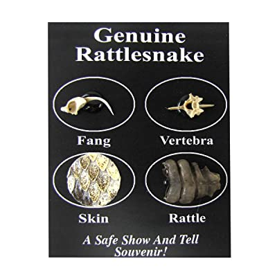 TG,LLC Treasure Gurus Genuine Rattlesnake Taxidermy Snake Parts Skin Rattle Pack Educational Science Gift: Toys & Games