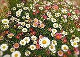100 Santa Barbara Daisy Seeds a.K.a Mexican Daisy,Erigeron Karvinskianus