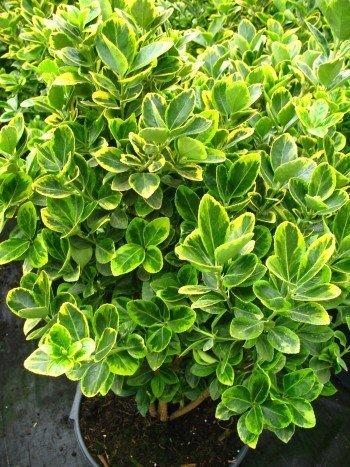 immergrüner Spindelstrauch Euonymus japonica Aurea 60 - 80 cm hoch ...