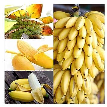 100 Unids Raras Semillas de Árboles de Banano Enano Mini Bonsai Semillas de Frutas Exóticas Plantas de Jardín: Amazon.es: Jardín