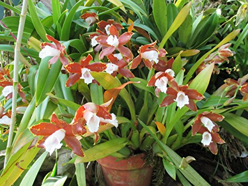 Miltonia candida from the Orchid family with over 28000 species .