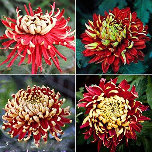 Narutosak 100Pcs Rare Bicolor Red Yellow Chrysanthemum Flower Plant Seeds Morifolium ()