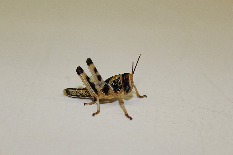 Flos-Oase Heuschrecken Wüstenheuschrecken mittel 100 Stück Futterinsekten Reptilienfutter Futtertiere
