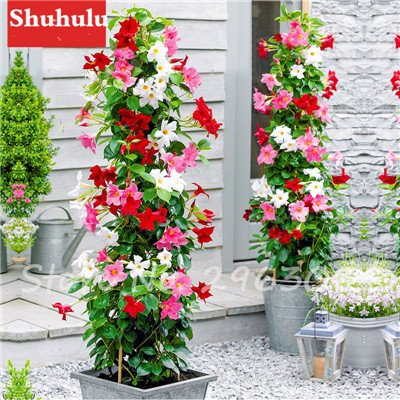 50 Pcs/bag Rare Dipladenia Sanderi Seeds Perennial Climbing Mandevilla Sanderi Flower Outdoor Ornamental Bonsai Garden Plant 16