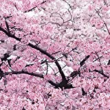 Giant Japanese Pink Cherry Blossom Sakura Tree, 20 seeds, Oriental Sweet Prunus Flower Seeds E3752