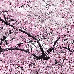 Giant Japanese Pink Cherry Blossom Sakura