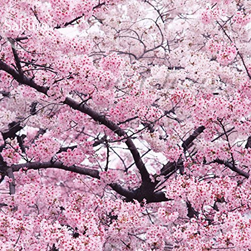 Cherry Blossom Sakura Tree, 20 seeds, Oriental Sweet Prunus Flower Seeds E3752 ()