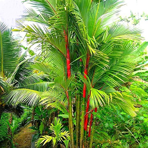 (Solution Seeds Farm New Heirloom Lipstick Palm Cyrtostachys Renda Tree Seeds 10 seeds, red sealing wax palm Seeds (Not Tree or Plants))
