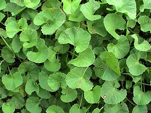 500  Seeds Centella Asiatica Seeds, Indian Pennywort Gotu...