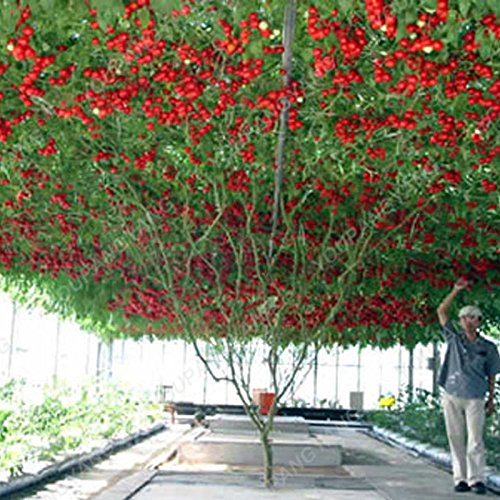 200pcs/bag Gaint Tomato Seeds Huge Rich Flavor The World's Largest Beef Tomato Organic Seeds Vegetables Home Garden Plant Pot Burgundy