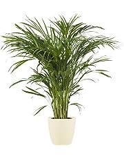 BOTANICLY | Plantes vertes d intérieur – Palmiste multipliant | Areca/Dypsis lutescens