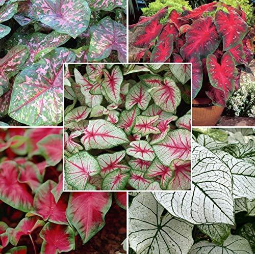 (Caladium Bulbs - Fancy Leaf Mix - Bag of 25, Red)