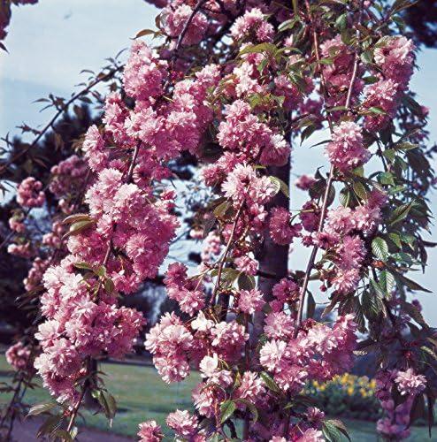 Primrose 130 150cm Prunus Kiku Shidare Zakura Cheal S Weeping Cherry 9l Pot 3 Year Old Tree Large Outdoor Tree Bare Root Amazon Co Uk Garden Outdoors