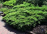 Kallay Juniper Qty 60 Live Plants Groundcover