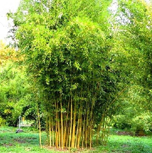 40pcs semillas de bambú del jardín de las semillas de bambú verde Phyllostachys aureosulcata Spectabilis: Amazon.es: Jardín