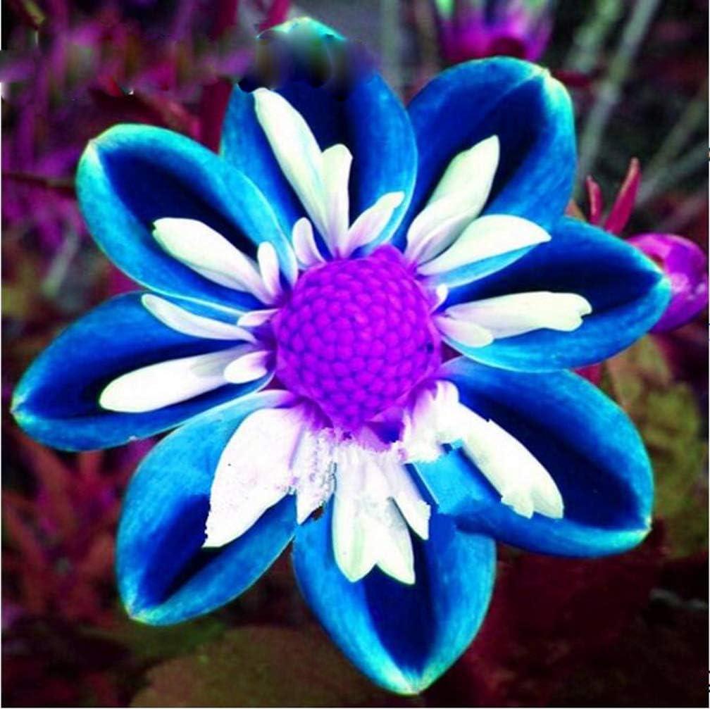 Amazon Com 100pcs Rare Blue And White Point Dahlia Seeds Beautiful Perennial Flowers Plants Dahlia For Diy Home Garden Sementes Bonsai Seeds Garden Outdoor