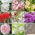 10 kinds Purple Camellia Impatiens Seed Camellia Balsamine Garden Potted Bonsai Flower Seeds - 100 Pcs